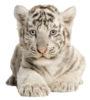 binzcom-flavicon-tiger
